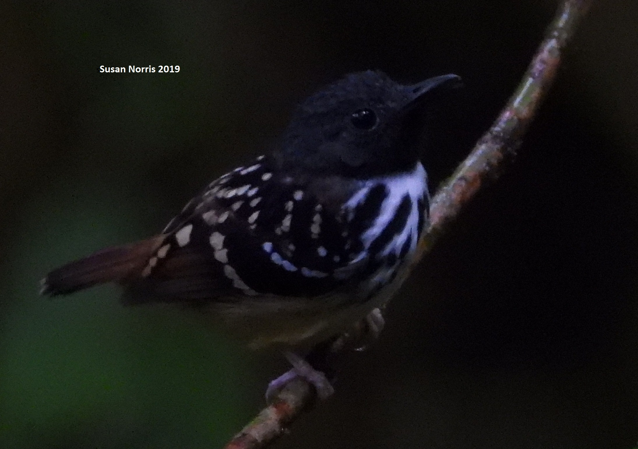 Spot-backed Antshrike