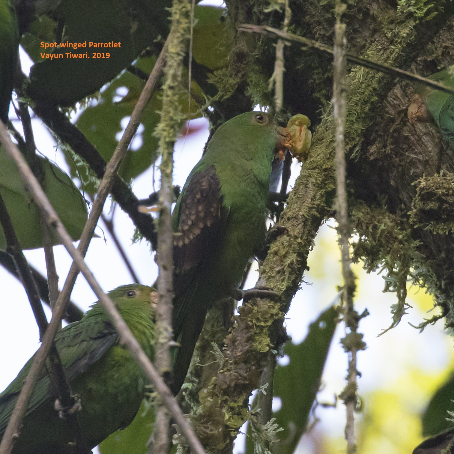 Spot-winged Parrotlet Ecuador